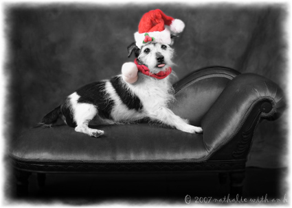 Jack Russell for Christmas