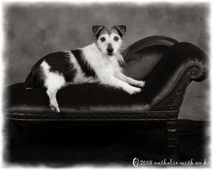 Jack Russell on a sofa