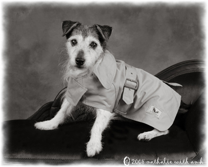 Jack Russell in a Burberry raincoat