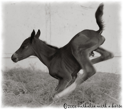 Foal taking first steps
