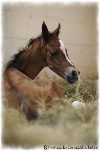 Arabian foal out of the womb